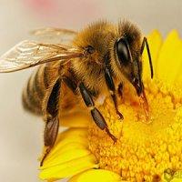 درمان کرونا با سم زنبورعسل؛ خطر جدی برای مبتلایان به آسم