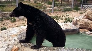 حمله خونین خرس گرسنه به مرد پیرانشهری