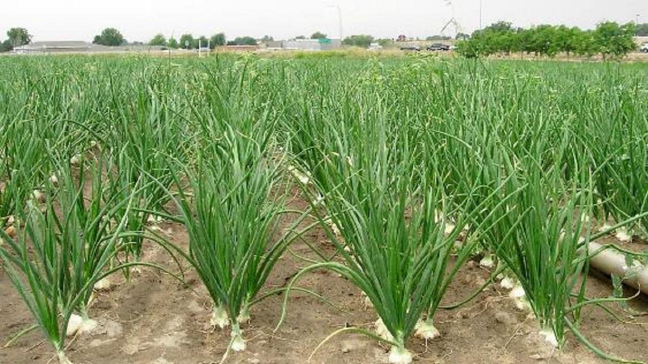 اختصاص ۲۰۰ هکتار از مزارع مهاباد به کاشت پیاز