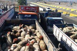 گوسفندها جلوی چشم مسئولان ۲۷ دستگاه متولی از کشور میروند!