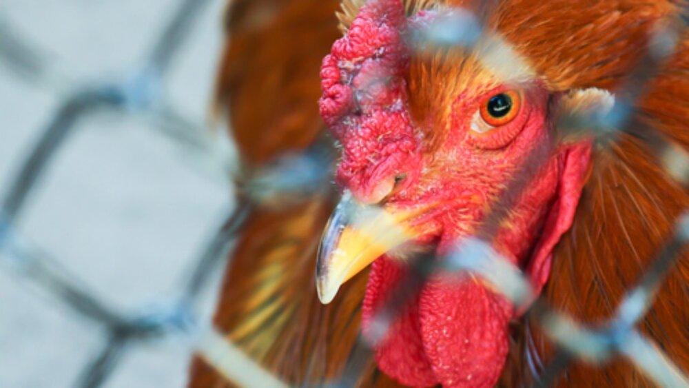 وضعیت آنفلوآنزای فوق حاد پرندگان در ایران