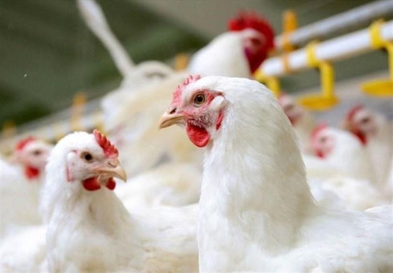 طلایی: قیمت مرغ تا ۱۰ روز دیگر کاهش می یابد/ توزیع روزانه ۳۰۰ هزار تن مرغ ۱۵ تا ۱۸.۵ هزار تومانی