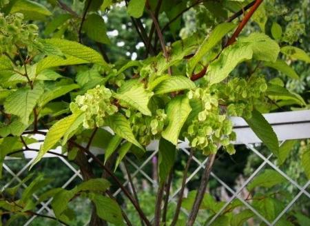 گیاه  ضد سرطان با نامی عجیب