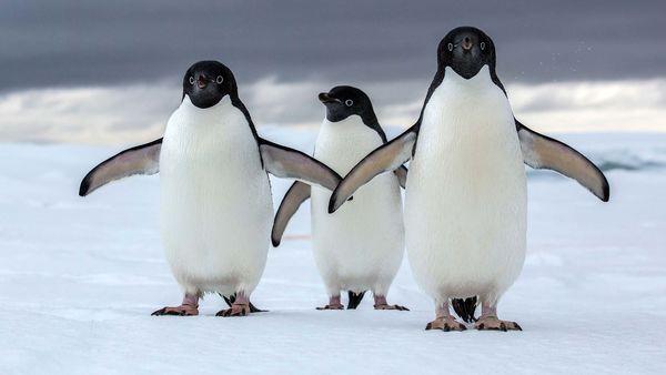 عاشقانه زوج پنگوئن +عکس