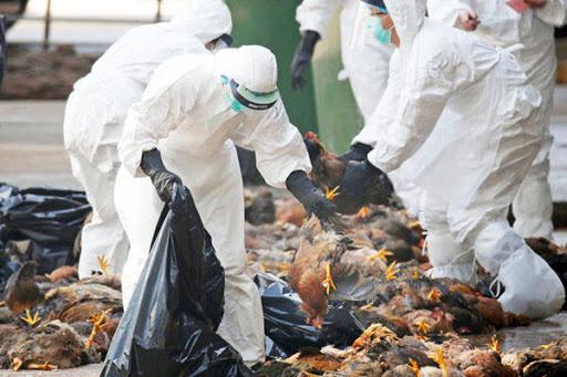 آخرین وضعیت شیوع آنفلوآنزای فوق حاد پرندگان در کشور