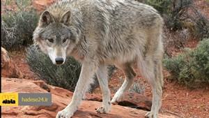 نجات مرد سرابی  از محاصره گرگها