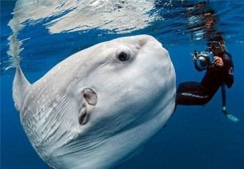 ماهی عجیب و غریبی به نام مولا مولا/عکس و فیلم