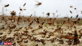هجوم گسترده ملخهای صحرایی به کشور از حدود ۱۰ روز آینده