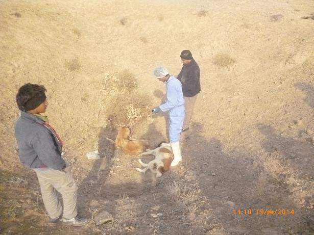 کشف شیوه جدید حذف «سگهای ولگرد» در شهرداری یزد!