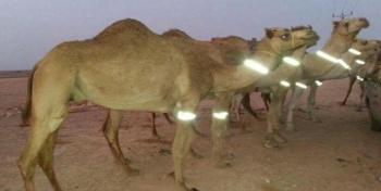 عکس/شترهایی که در ایران شب ها از خود نور پخش می کنند