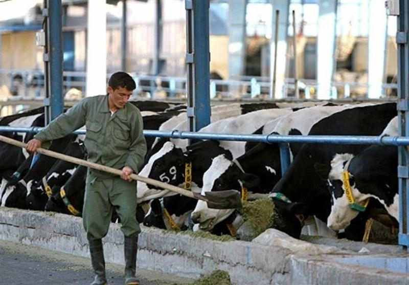 کابینت سازی که با خریداری دو گاو ماهانه 15 میلیون درآمد خالص دارد/کار آفرین شویم
