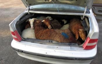 جاسازی 13 گوسفند قاچاق در سمند+عکس