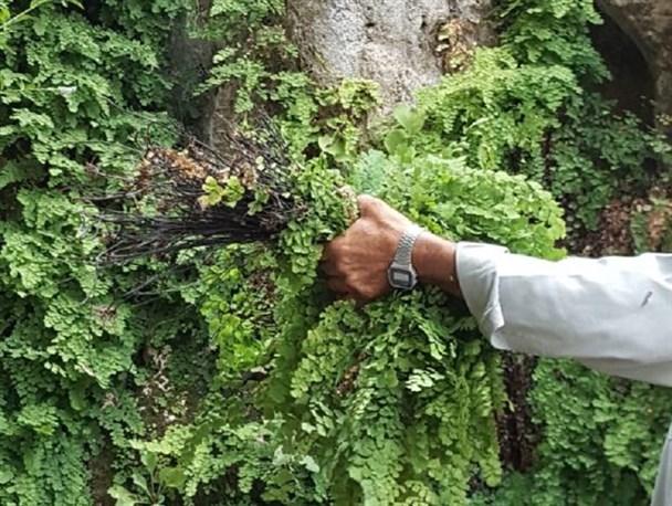 با این گیاه شگفت انگیز خود و اطرافیان خود را از آنفولانزا دور و درمان نمایید