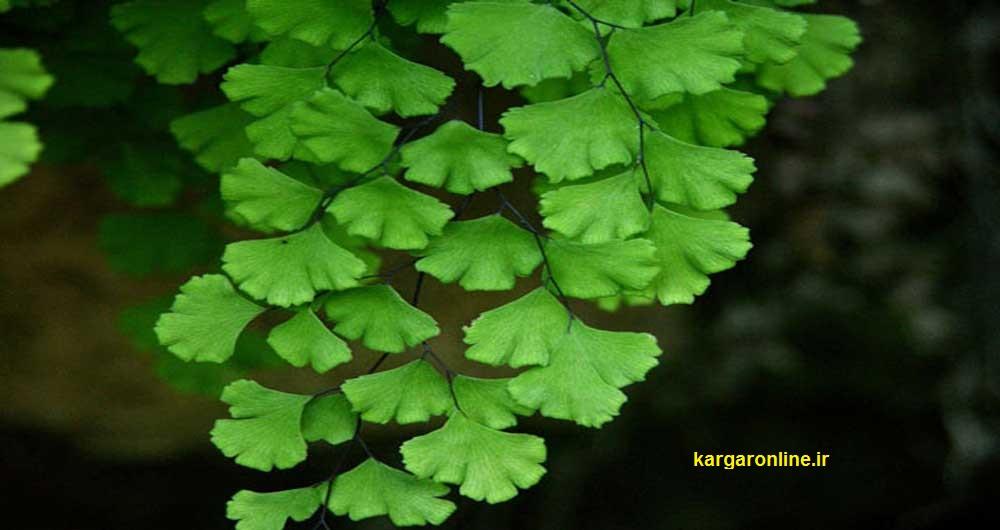 گیاه شگفت انگیر ایرانی/از تمام بیماری های ریوی/ کلیوی و معده دور شوید