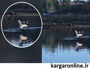 عکس/ حمله مرگبار عقاب به مرغ دریایی