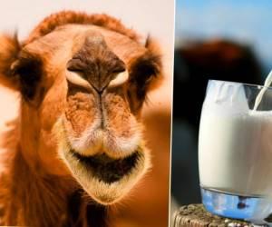 بیماری وجود ندارد که شیر شتر برایش مفید نباشد/درمان دیابت /پیری پوست/دفع آسم وکاهش وزن و لاغری