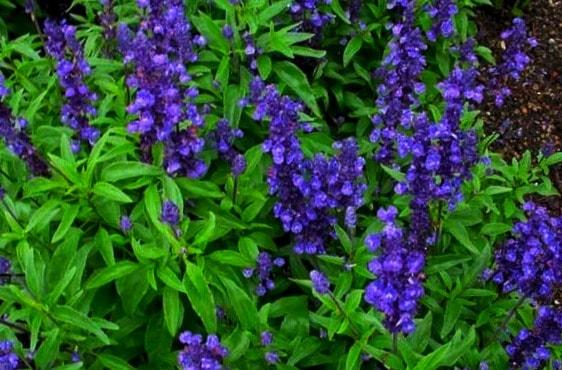 با مصرف این گیاه هیچ وقت پیر نشوید و 23 بیماری را دفع کنید/کشنده کرونا+افزایش سیستم ایمنی!
