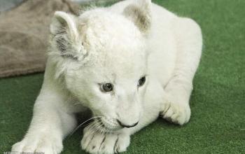 یک «شیر سفید» در هویزه به دنیا آمد+عکس