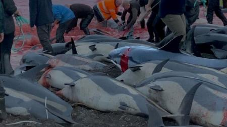 ۱۴۰۰ دلفین در جزایر فارو  سلاخی و کشته شدند + ویدئو