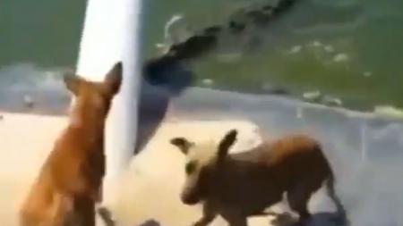 ویدئو/شکار ناگهانی سگ توسط کروکدیل گرسنه